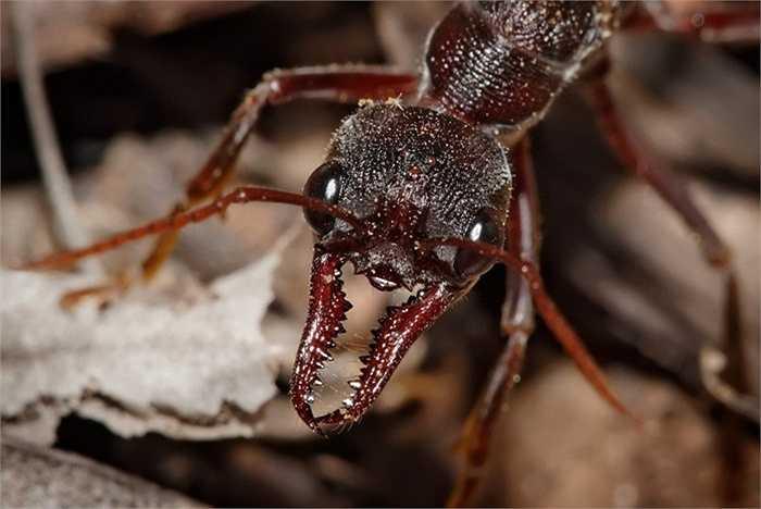 4. Kiến Bulldog. Mọi người vẫn nghĩ đến loài kiến chăm chỉ và hiền lành. Tuy nhiên, kiến Bulldog lại vô cùng khác biệt, chúng khá hung dữ và luôn luôn sử dụng những chiếc gai nhọn của mình để tấn công. Và loài vật này thậm chí còn không sợ các loại thuốc côn trùng thông thường