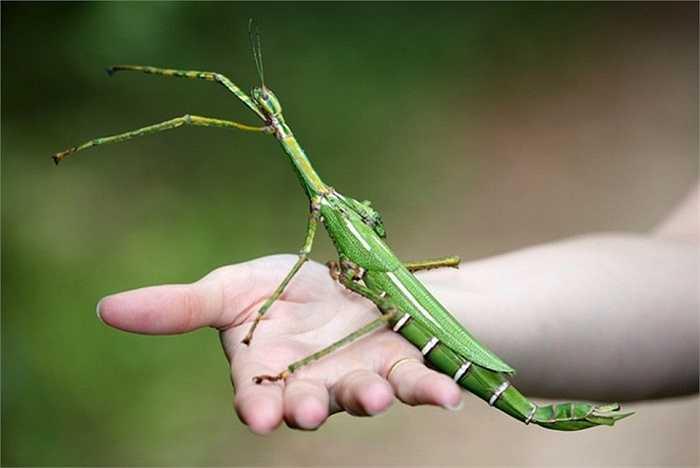 8. Goliath Stick Insect (Côn trùng gậy khổng lồ). Nó là một trong những loài động vật dài nhất thế giới và nó có thể gây cho con người những cảm giác vô cùng khó chịu mặc dù vết cắn của nó không gây nguy hiểm cho con người