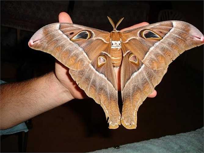 9. Bướm Hercules. Loài bướm này thường được tìm thấy ở miền Bắc Australia, nó sở hữu sải cánh lên tới 12 inch (27cm).