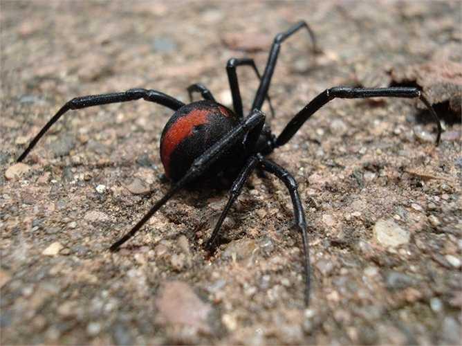 10. Nhện lưng đỏ. Nếu như rắn là hung thần của rất nhiều loài động vật thì nhện lưng đỏ được coi là 'kẻ diệt rắn' hàng đầu tại Australia. Vũ khí chính của con vật này là nọc độc, vì vậy, nếu chẳng may gặp một cái lưng đỏ trong vườn, mọi người luôn luôn cần đề cao cảnh giác