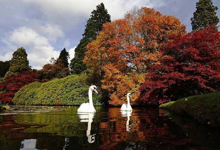 Đàn thiên nga bơi lội tại vườn quốc gia Sheffield Park ở miền Nam nước Anh