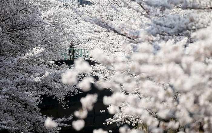 Hoa anh đào nở rộ ở Tokyo, Nhật Bản