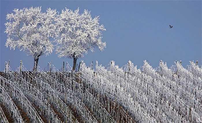 Những cành cây bị băng tuyết bao phủ tại vùng Strasbourg, Pháp