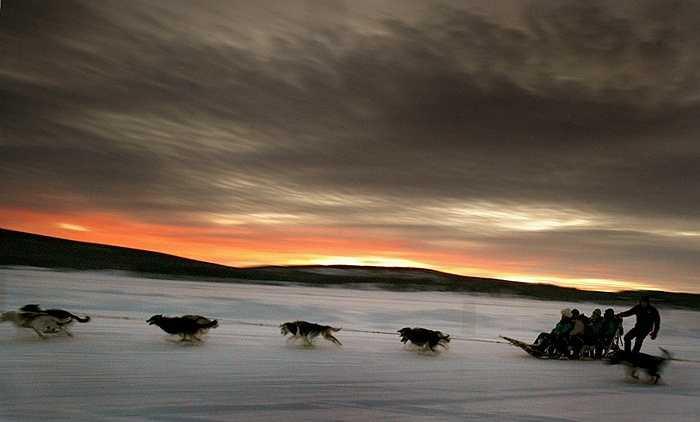 Một đàn chó kéo xe đưa khách du lịch đến thăm vùng phía Bắc Thụy Điển