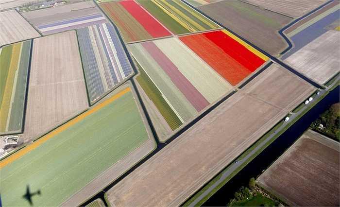 Một trong những ruộng hoa lớn nhất thế giới ở Hà Lan
