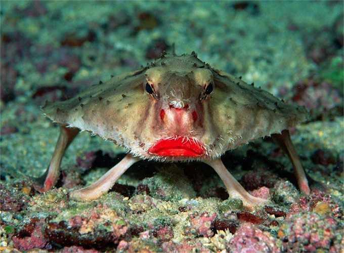 Cá dơi môi đỏ có cặp môi đỏ lừ như thiếu nữ tô son. Chúng không biết bơi mà di chuyển bằng vây ngực.