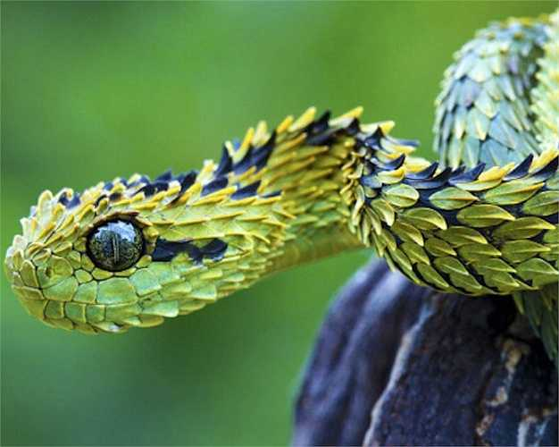 Rắn lục bụi rậm Bush Viper sống trên cây ở các khu rừng nhiệt đới châu Phi, chúng là loại săn mồi vào ban đêm. Trong chúng có vẻ to lớn nhưng thực chất chúng là loài rắn khá nhỏ với chiều dài tối đa chỉ 78cm.