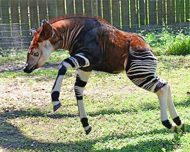 Loài Okapi có liên quan chặt chẽ với hươu cao cổ, ngựa vằn và thậm chí là cả ngựa. Những con Okapi có nguồn gốc và sinh sống tại Cộng hòa Dân chủ Congo, Trung Phi.