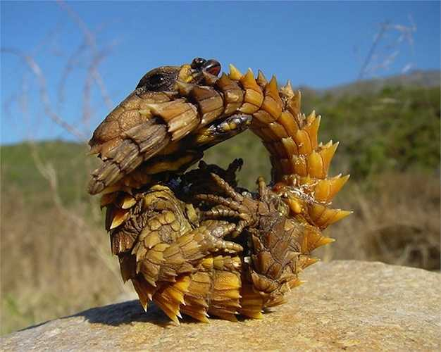 Thorny Dragon là một loài thằn lằn Úc cư trú chủ yếu ở các sa mạc, trông chúng giống như một con rồng nhỏ. Loài thằn lằn này được bao phủ trong lớp gai nhọn để đe dọa kẻ thù. Chúng có thể sống đến 20 năm, nhiều hơn hầu hết các loài thằn lằn khác.