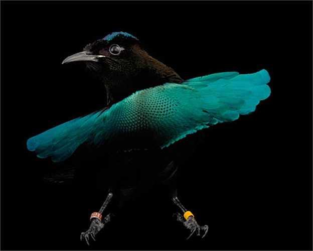 Chim Thiên đường là loài chim đẹp nhất trong các loài chim, chúng có giọng hót rất hay.
