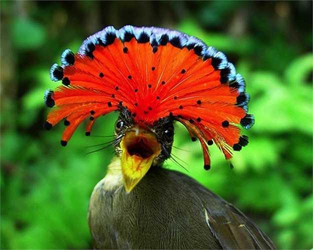 Chim bắt ruồi Hoàng gia Amazon có vẻ ngoài sặc sỡ và diêm dúa như vũ công trong lễ hội Carnival. Chúng có thể 'phi thân' từ trên cao xuống đớp mồi hay cắp mồi đi từ một hốc cây. Loài chim này thường làm tổ lơ lửng trên mặt nước, khiến kẻ thù trên cạn, dưới nước khó tiếp cận.