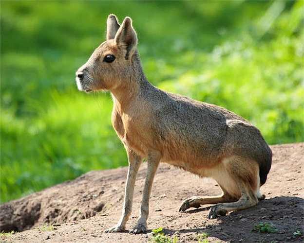 Patagonian Mara vừa giống thỏ, lại vừa giống chó nhưng thực ra là loài gặm nhấm đặc hữu của Argentina. Chúng là một loài ăn cỏ hiền lành và sở hữu khả năng chạy khá 'ổn'.