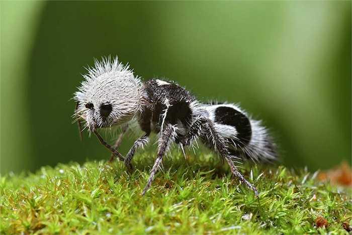 Loài kiến gấu trúc không phải là gấu trúc cũng không phải là kiến. Thực chất chúng là loài ong bắp cày không cánh sinh sống ở Chile. Mặc dù trông rất đáng yêu nhưng chúng được mệnh danh là 'sát thủ' vì vết đốt của chúng đau đớn vô cùng.