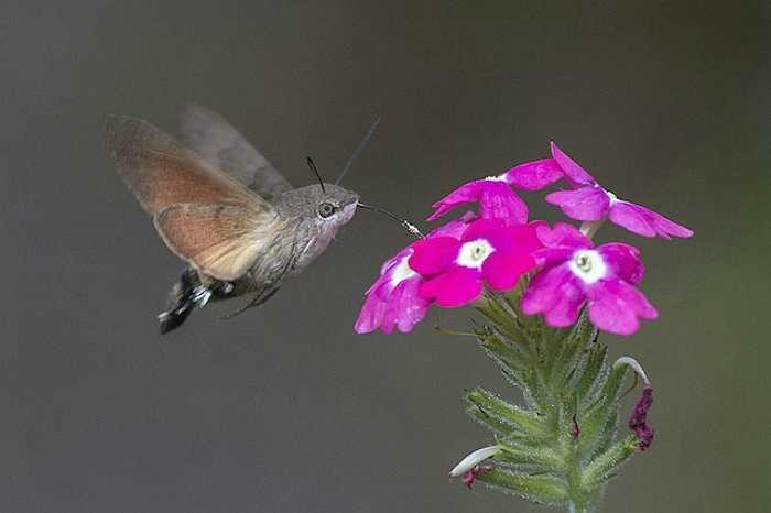 Bướm Hummingbird Hawk-Moth có vẻ là một loài lai giữa chim ruồi, chim ưng và bướm đêm nhưng nó thực chất chúng chỉ là một loài côn trùng nhỏ ăn hoa.