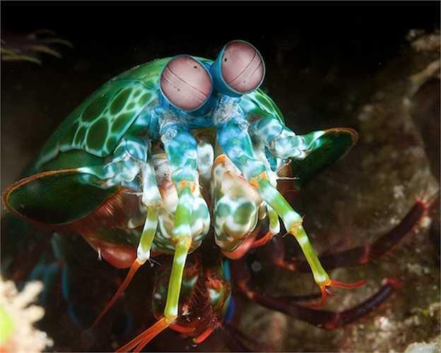 Tôm Mantis là loài săn mồi hung dữ nhất đại dương, phổ biến ở các vùng biển nhiệt đới và cận nhiệt đới.
