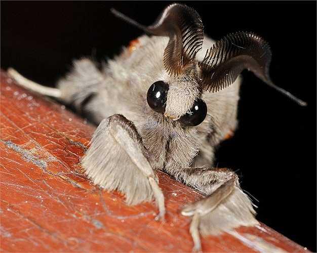 Loài Venezuela Poodle Moth chỉ vừa được phát hiện vào năm 2009. Chúng được tìm thấy ở Venezuela và người ta vẫn chưa biết nhiều về chúng.