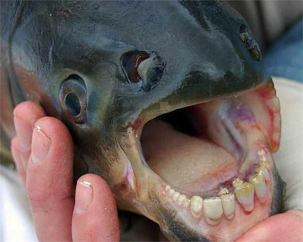 """Cá pacu có nguồn gốc từ Nam Mỹ, chúng có bộ răng đầy đủ gần như con người. Loài này có liên quan chặt chẽ với cá piranha và còn biệt danh khác là """"ball cutter""""."""