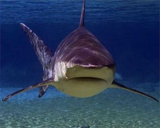 Cá mập bò có chiều dài khoảng 3,3m, nặng 312kg. Giống như các loài cá mập khác, chúng có vô số răng nhọn hình tam giác và bộ hàm rất khỏe với lực cắn lên tới 589kg. Cá mập bò được đánh giá là một trong những loài cá mập nguy hiểm nhất thế giới.
