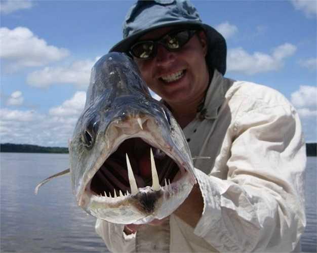 Cá ma cà rồng Payara loài cá săn mồi vô cùng dữ tợn, có khả năng nuốt số lượng cá bằng một nửa kích thước của cơ thể. Hàm dưới của chúng dài 15cm dùng để đâm xuyên qua con mồi sau khi tấn công, hàm trên có những chiếc hố đặc biệt để tránh những chiếc răng nanh tự đâm mình.
