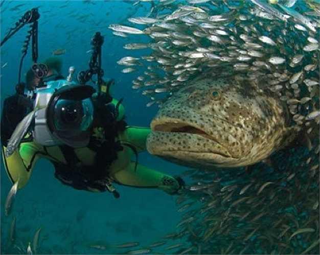 Cá mú Goliath Grouper là loài lớn nhất trong các loài cá mú ở vùng tây bắc Đại tây dương. Nó có thể nặng tới 455kg và dài 2m.