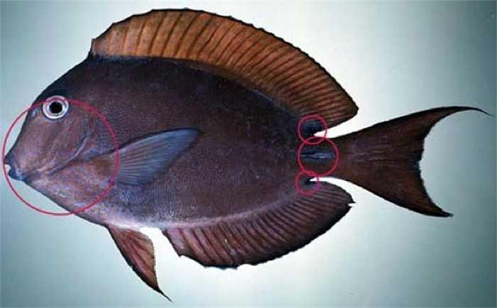 Cá bắp được coi là một trong những loài cá nhiệt đới đẹp nhất, tuy nhiên các thợ lăn chuyên nghiệp cũng được khuyên nên tránh xa loài cá này. Chúng giấu sau đuôi một lưỡi dao sắc nhọn để tấn công bất kì kẻ nào xâm phạm đến lãnh thổ của mình.
