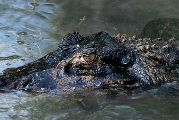 Cá sấu đen Caiman là loài động vật ăn thịt hàng đầu ở sông Amazon, cá sấu đen caiman có thể ăn bất cứ thứ gì ở gần chúng, bao gồm cả cá piranha, khỉ, hươu, nai, cá rô, trăn anaconda.