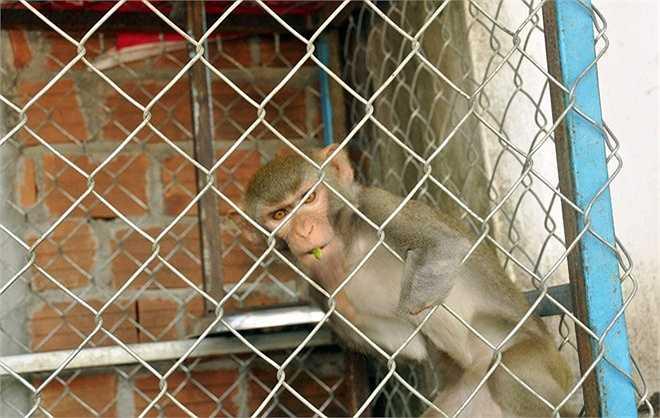 Bộ ảnh gồm 101 bức hình về các cá thể khỉ bị người dân bắt, nuôi nhốt mà anh chứng kiến trong quá trình công tác.
