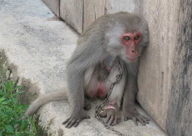 Một trong những con khỉ mà anh Vỹ ghi nhận trong chuyến đi Gia Lai, Kon Tum, Đà Nẵng, Hà Tĩnh và Quảng Bình. Con vật này bị người dân xích cổ, cùm chân. Ở chân trái của nó có vết cắt rất to, nhiễm trùng.
