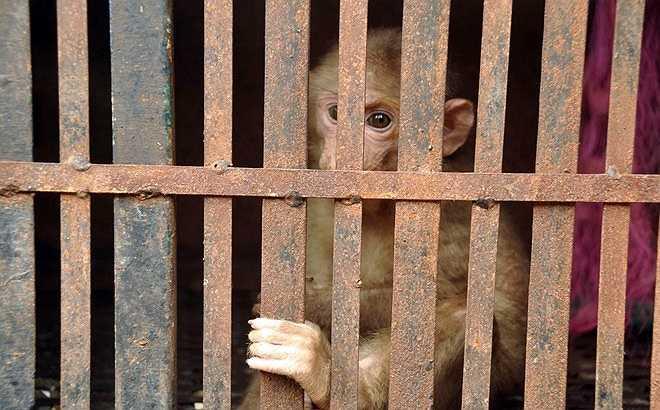 Một lần khác, trong chuyến đi công tác ở cửa khẩu Bờ Y (tỉnh Kon Tum), anh thấy một chú khỉ mặt đỏ đã già, mới bị dính bẫy, người dân mang về nhà nuôi. 'Tôi thuyết phục người dân vệ sinh vết thương cho nó cẩn thận để tránh bị nhiễm trùng và khuyên họ thả về với thiên nhiên', anh cho biết.