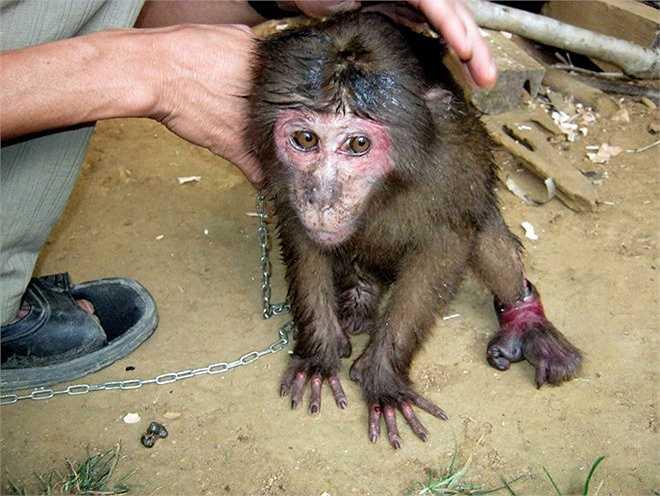 Hàng chục năm công tác trong lĩnh vực bảo vệ động vật hoang dã, tác giả bộ ảnh chứng kiến hàng trăm con khỉ bị người dân bắt nhốt, thậm chí giết thịt.