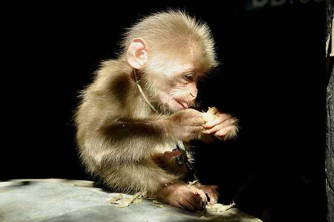 Quyết định công bố những bức ảnh này, tác giả mong muốn góp phần nâng cao ý thức của người dân, chung tay bảo vệ động vật hoang dã. 'Đừng thấy loài khỉ còn nhiều mà thờ ơ. Nếu không bảo vệ thì chúng sẽ bị tuyệt chủng trước một số loài động vật trong danh sách nguy cấp', anh Vỹ nói.