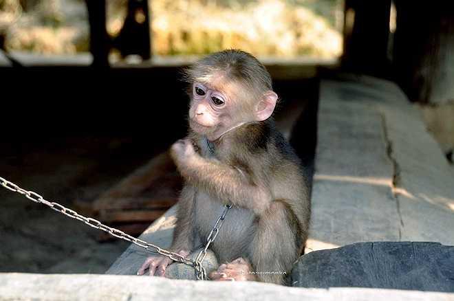 Giám đốc Trung tâm Bảo tồn đa dạng sinh học Nước Việt Xanh cũng cho biết, sẽ thành lập nhóm những người yêu khỉ để trao đổi thông tin về hoạt động bảo tồn đa dạng sinh học.