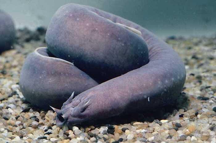 Hangfish có một kỹ năng đặc biệt được sử dụng trong lúc săn mồi và thoát khỏi nguy hiểm, đó là kỹ năng tự 'thắt nút' cơ thể. Để con mồi không thể thoát ra khỏi cái hang, cá hagfish có thể làm cơ thể của mình tự thắt nút và bịt kín miệng hang bằng nút thắt đó.