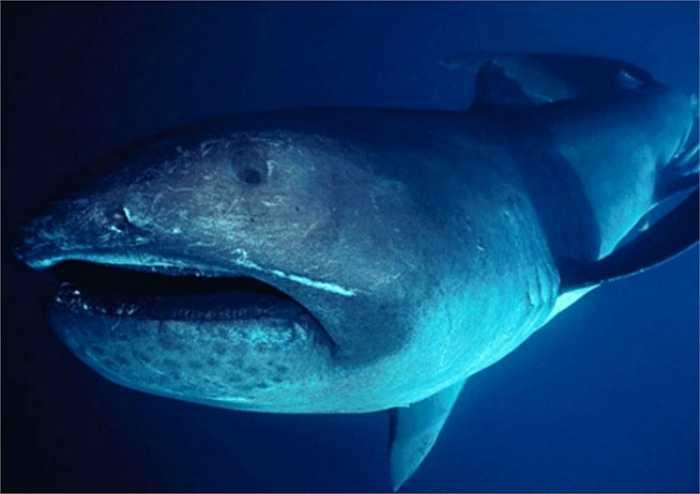 Cá mập miệng rộng có khoang miệng sáng như tráng bạc và hàm thì cắm đầy những chiếc răng nhỏ quặp lại như những chiếc móc. Đầu loài cá mập này rất to nhưng mắt cực nhỏ, có 5 cặp khe mang. Lưng từ xám đến xám đen có đốm trắng, bụng trắng.