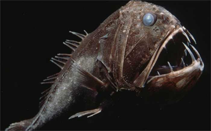 Cá răng nanh có vẻ ngoài hung dữ nhưng thân hình lại khá nhỏ bé chỉ khoảng 16cm, thân sẫm màu, đầu to, miệng rộng, đầu còn có nhiều lỗ rỗng, nhờn cách nhau bởi những gờ răng cưa.