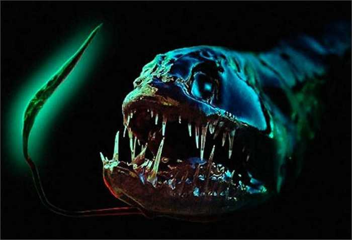 Cá rồng là loài cá dữ, săn mồi tàn bạo dưới đáy đại dương. Có tên khoa học là Grammatostomias flagellibarba, chúng có những chiếc răng sắc và lớn so với toàn bộ cơ thể.