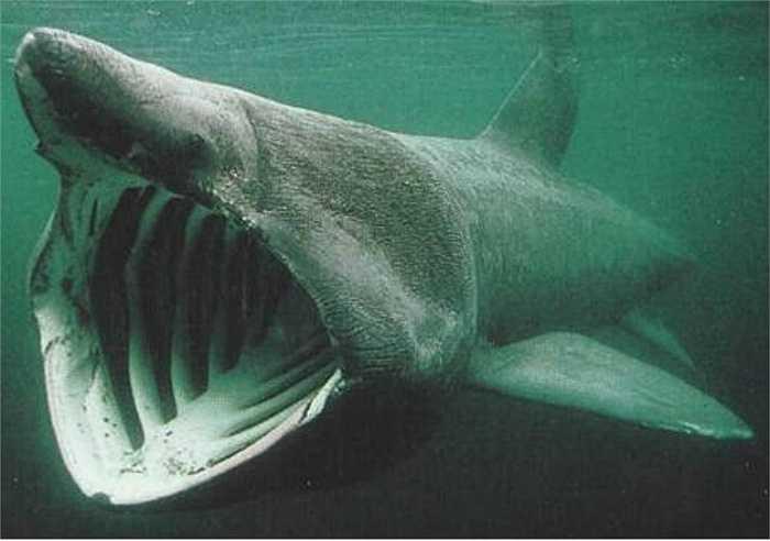 Cá mập giỏ loài cá lớn thứ hai trên thế giới, đứng sau cá mập voi. Chúng có chiếc mõm hình nón và những khe mang có thể mở ra hoàn toàn ở vùng đầu của chúng. Kết hợp với mang là những tấm răng lược.