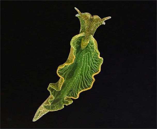 Sên biển Elysia chlorotica có khả năng khác biệt với tất cả các loài động vật khác là sử dụng ánh sáng mặt trời để quang hợp như thực vật. Chúng lấy chất diệp lục từ tảo và tổng hợp vào trong các tế bào của mình.