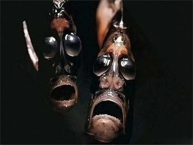 Cá Argyropelecus gigas sống ở những khu vực nước sâu mà con người khó lòng quan sát. con người khó lòng quan sát.