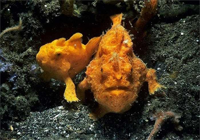 Cá Frogfishes thường sống xen giữa các rặng san hô, cá Frogfishes sở hữu cơ thể sặc sỡ màu sắc, giúp chúng dễ dàng lẩn khuất vào môi trường.