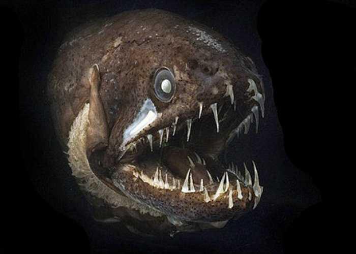 Cá Rồng sống ở những vùng biển sâu,  là loài động vật ăn thịt hung dữ nhất bên dưới các đại dương sâu thẳm của địa cầu. Cá rồng cực kỳ nổi tiếng với bộ hàm rộng, khỏe và chiếc miệng đầy những răng cực lớn.