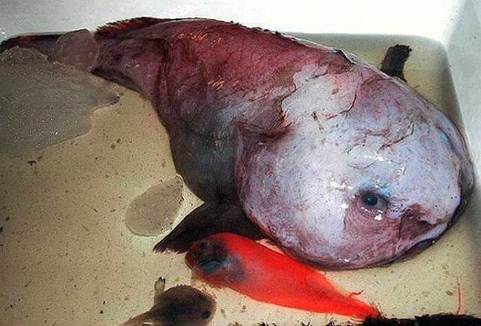 Cá sóng thần là loài cá lạ, chỉ được biết đến sau khi sống sót trên một boong tàu Nhật Bản sau khi nó bị trận sóng thần hôm 11/3/2011.