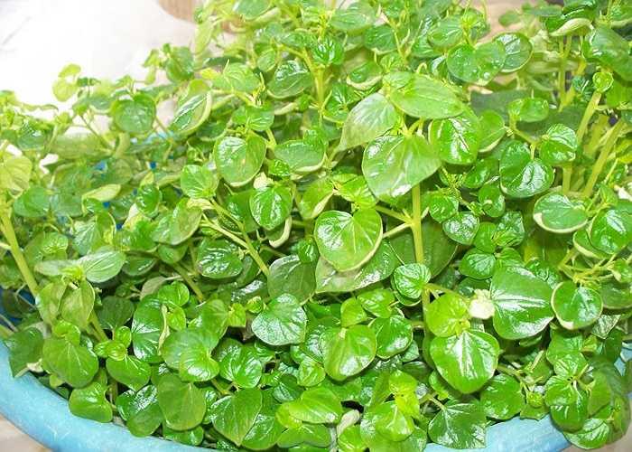 Rau càng cua: Để chữa nhiệt miệng, nên dùng rau càng cua nấu canh, luộc để ăn. Nếu có thể ăn sống hoặc ép nước uống thì càng tốt.