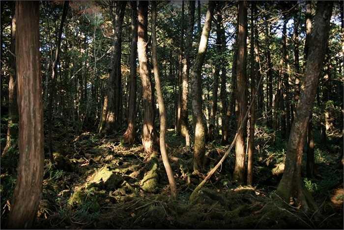 3. Khu rừng tự sát. Aokigahara là một khu rừng ở dưới chân dãy núi Phú Sỹ. Theo truyền thuyết Nhật Bản, khu rừng này tràn ngập những linh hồn giận dữ và hàng năm, hàng tá người dân bị 'ma xui quỷ khiến' đến đây tự sát
