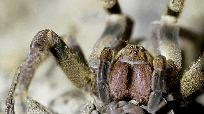 1. Nhện độc Brazil. Loài nhện này hội tụ tất cả các yếu tố đáng sợ: to lớn, lông lá, có nộc độc và thường chui vào tủ quần áo gia đình. Thậm chí con trưởng thành có thể đạt tới chiều dài chân 5 inch. Nọc độc của loài vật có thể giết người trong vòng 2 giờ đồng hồ