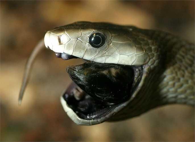 2. Rắn Black Mamba. Loài rắn thường được tìm thấy ở Châu Phi. Nó có thể dài tới 5m (dài nhất tại đây). Đây là loài rắn di chuyển nhanh nhất trên đất liền, có thể đạt tốc độ 20 km/h. ọc độc rắn Mamba đen có thể giết chết một con người trong 30 phút đến 2 giờ gây buồn ngủ, các vấn đề về thần kinh, tê liệt, và khó thở.