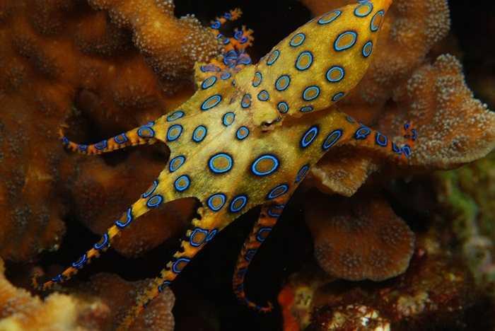 3. BẠch tuộc Blue Ringed. Loài bạch tuộc này có làn da có các nốt giống những chiếc nhẫn màu xanh. Khi bị nó cắn, trong vòng 5 phút, nạn nhân sẽ cảm thấy tê liệt, và nếu để lâu sẽ dẫn đến tình trạng tim ngừng đập. Mặc dù hô hấp nhân tạo có thể cứu nạn nhân sống sót, nhưng rất khó tránh các biến chứng như bị mù, tê liệt vĩnh viễn.