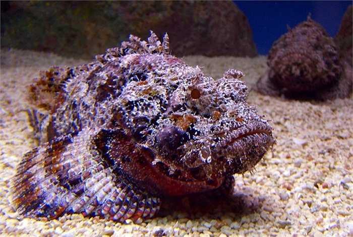 5. Cá đá là loài cá có nọc độc đáng sợ nhất hành tinh. Chúng cũng là bậc thầy trong nghệ thuật hóa trang, bởi cơ thể của chúng có thể hòa lẫn vào môi trường xung quanh. Cá đá chẳng bao giờ tấn công bất kỳ con vật nào. Thay vào đó chúng chờ còn mồi chạm vào cơ thể chúng. Nọc độc của cá đá có thể gây liệt hoặc tử vong ngay lập tứ