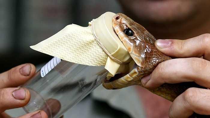 7. Inland taipan là một trong loài rắn trên cạn độc nhất. Vết cắn của nó đồng nghĩa với cái chết trong vòng chỉ một vài giờ nếu không được chữa trị kịp thời. Nọc độc trong mỗi vết cắn là 110mg, trong khi đó chỉ cần vài mg của nó cũng đủ để giết chết hơn 100 người hoặc 25.000 con chuột