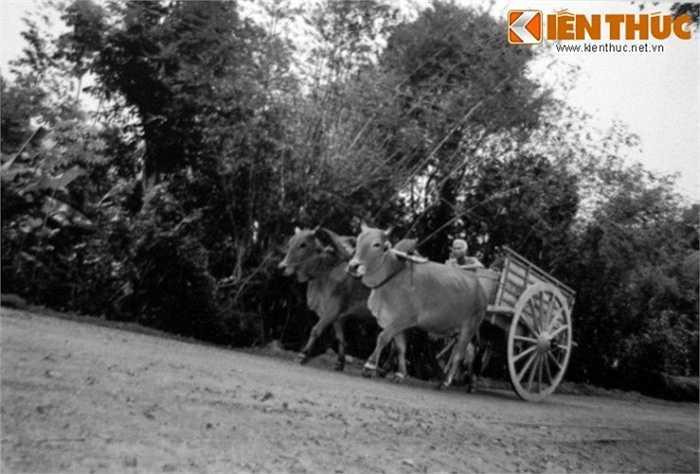 Xe bò chở vũ khí đươc ngụy trang từ Thái Mỹ ra Quốc lộ 1 để chuyển về Sài Gòn. Binh lính Sài Gòn hầu như chỉ kiểm tra các xe tải ra vào thành phố và bỏ qua những chiếc xe bò như thế này.